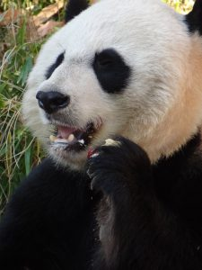 Head of Tian Tian panda